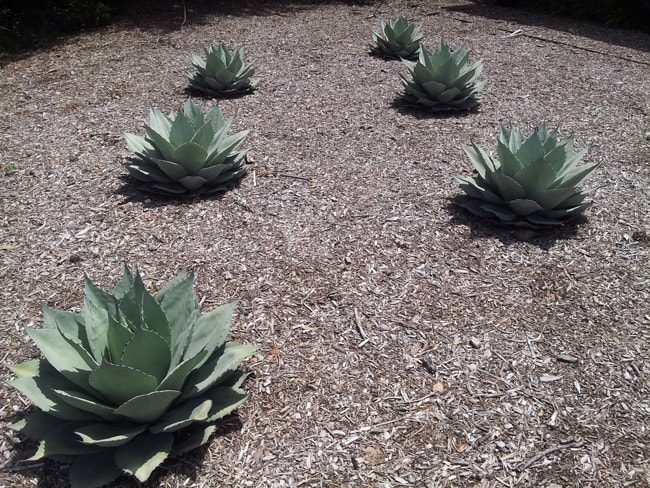 artichoke agave as groundcover
