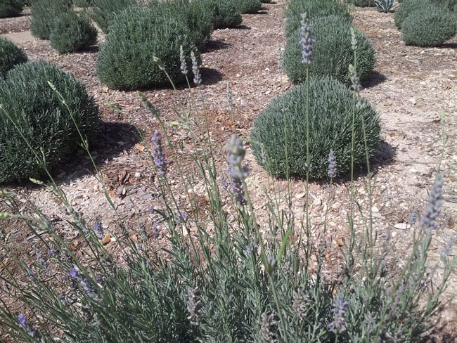 lavender as groundcover