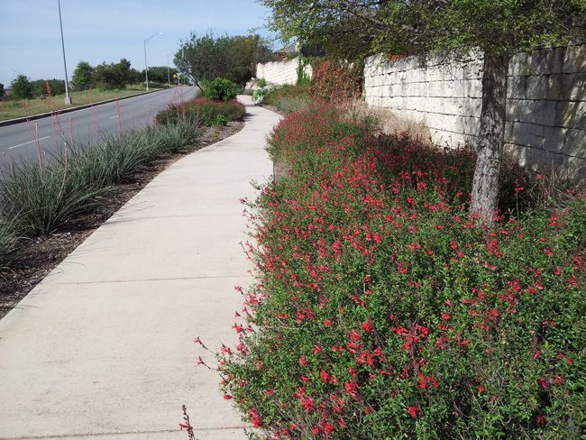 red yucca as inferno strip groundcover