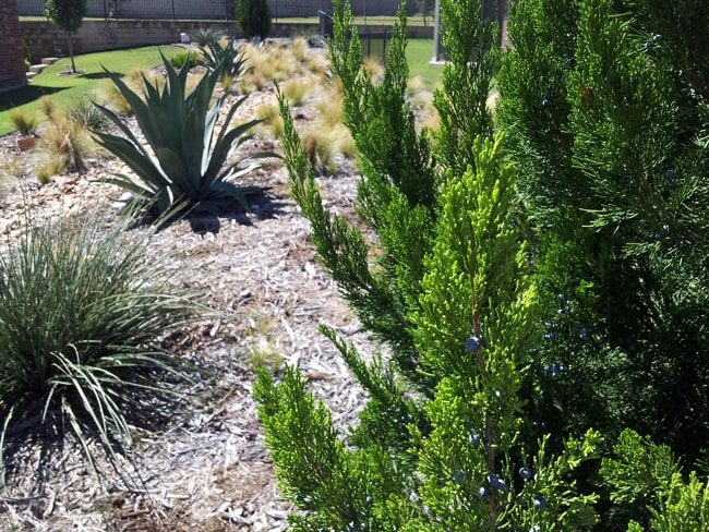sculptural agaves and yucca ornamental plumegrasses