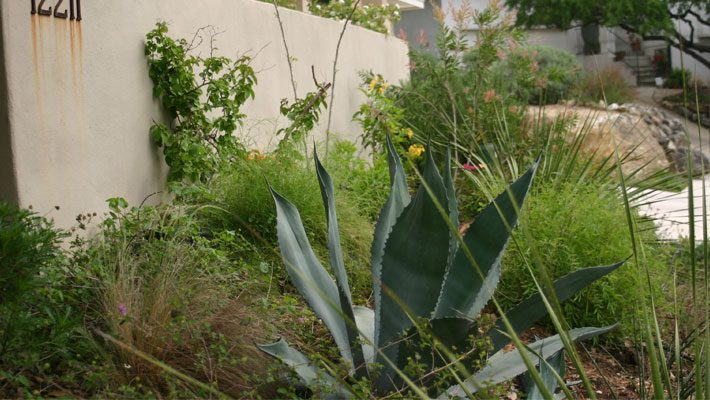 Century Agave with a Sotol