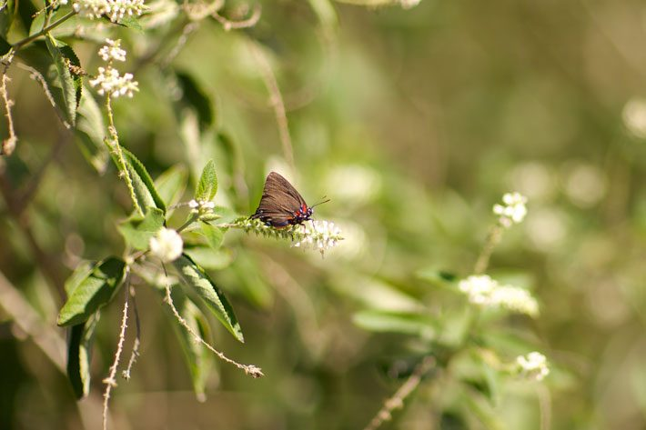 Almond Verbena with Rare Purple Hairstreak