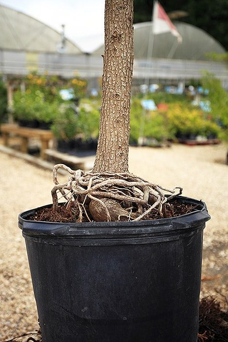girdling roots side view, tangled around base of planter tree