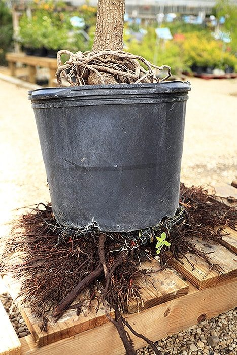 roots growing out from under planting container