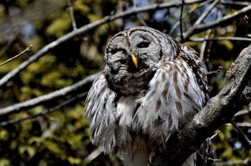 barred owl among branches