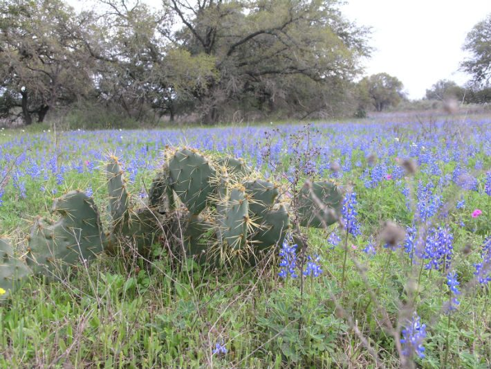 Bluebonnets and Prickly Pear Cactus