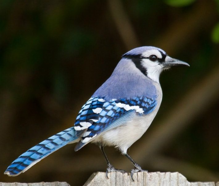 blue jay on fence amongst trees