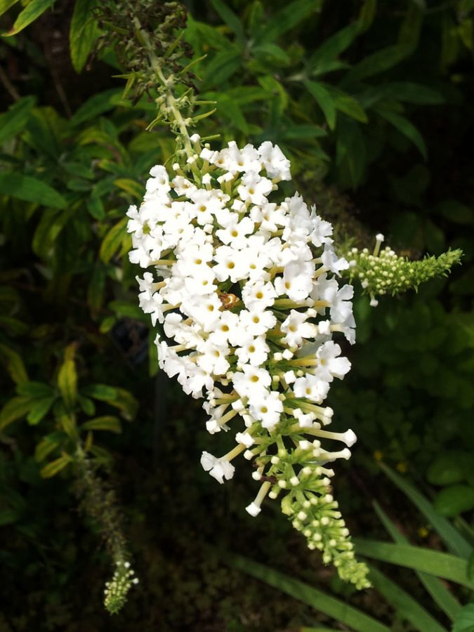 White Butterfly Bush Hanging