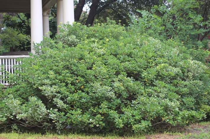 Pittisporum Evergreen Shrub
