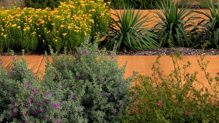 Cenizo with Yucca, Rock Rose and Mint Marigold