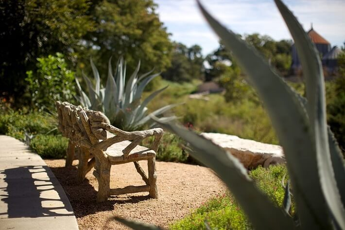 century plant, agave near wooden bench