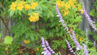 Esperanza, Blue Salvia in foreground