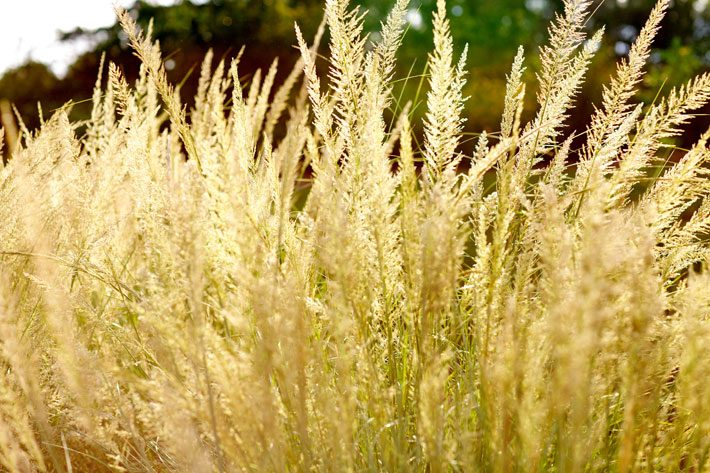 fall ornamental grass