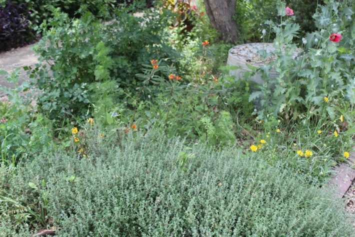 french thyme poppies tropical milkweed