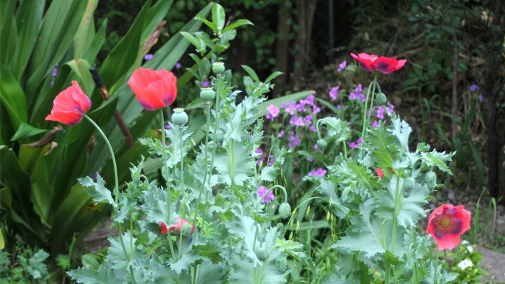 Giant Crinum and Poppies