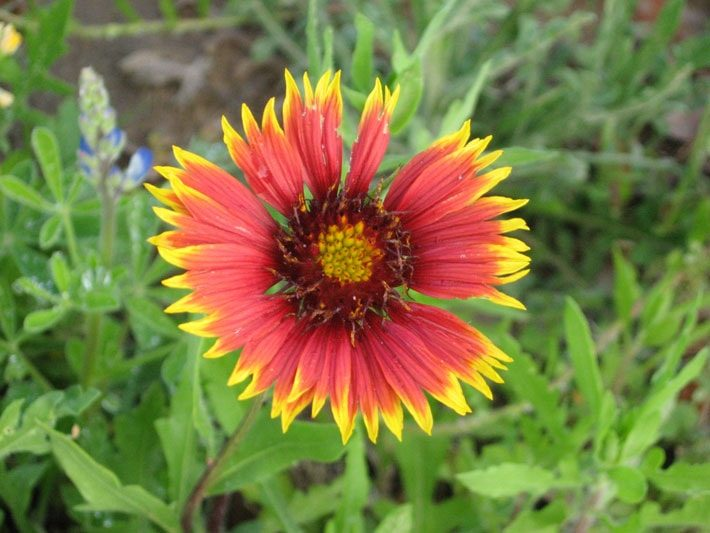 indian blanket gallardia pulchella flower detail
