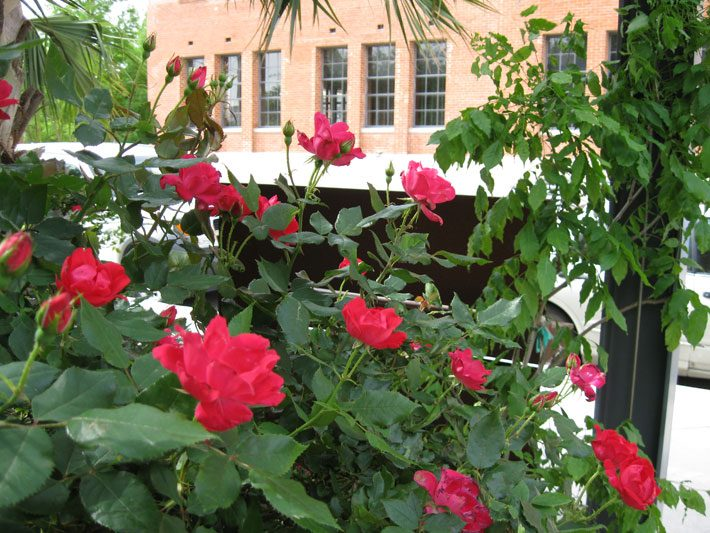 Knockout Rose Bush Blooming Red