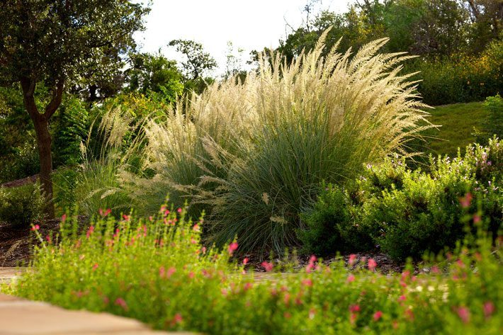 Lindheimer Muhly with Salvia in foreground