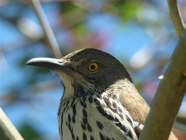 long billed thrasher detail