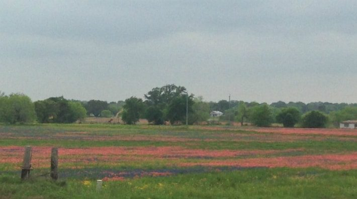 mixed field of indian paintbrushes and blue bonnets