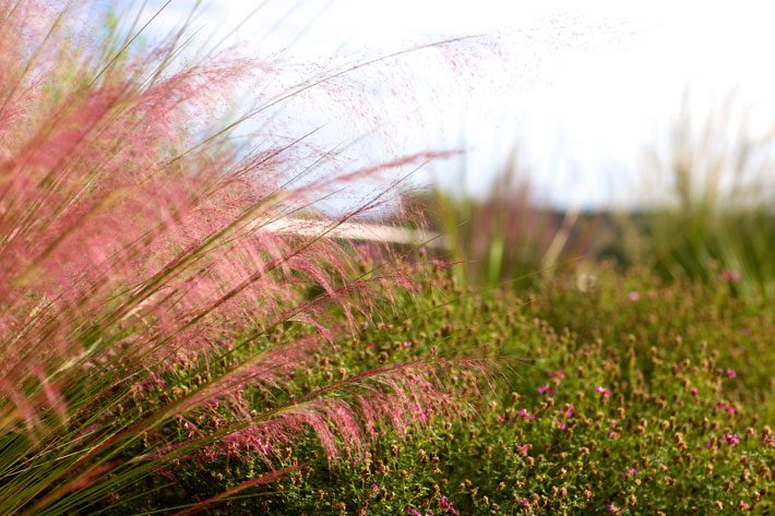 Pink Muhly Grass and Black Dahlia