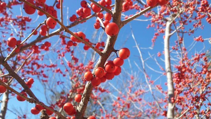 possumhaw fruit tree