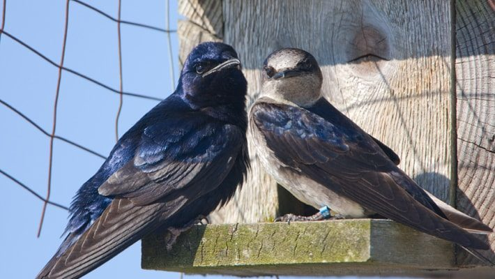 purple martins couple