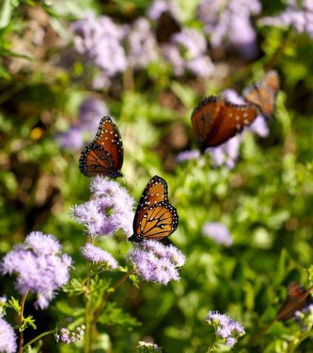 Butterflies on blue mistflower