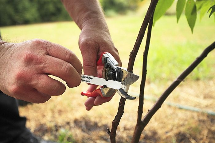 removing tags and wires from tree with sheers