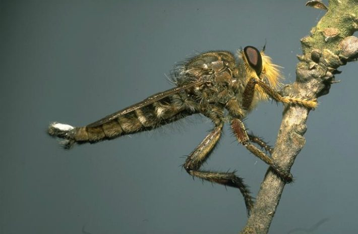 robber fly drees