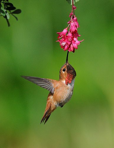 plants for humming birds, hummingbird eating upside down