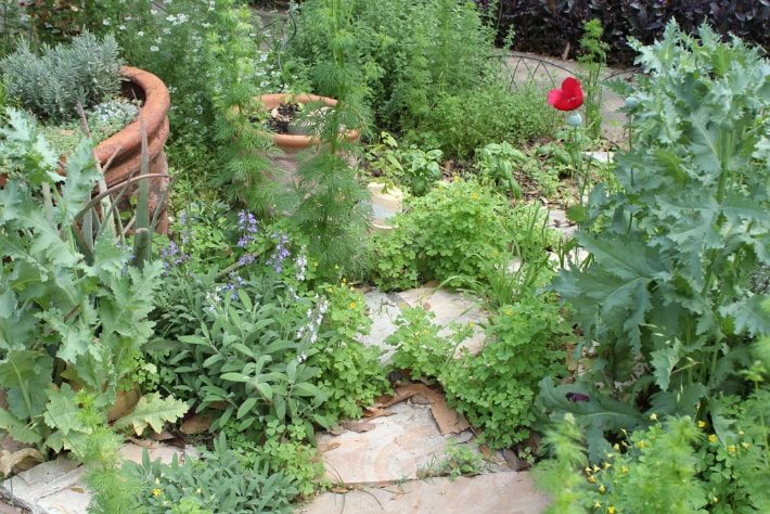 Sage, clover, poppies and oregano