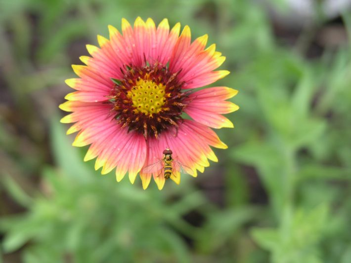 syrphid fly on an indian blanket