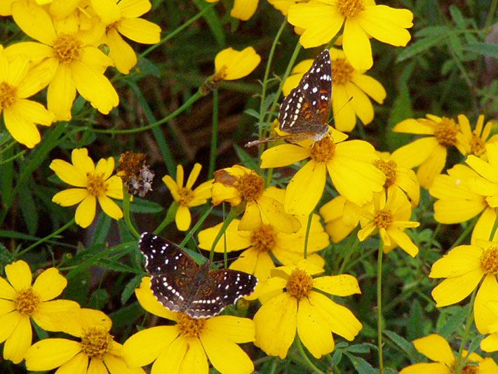 Texan Crescent Butterflies