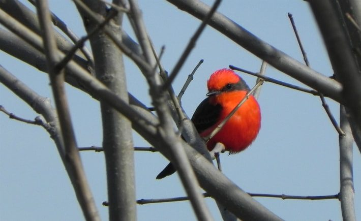 vermillion bird on bare branches