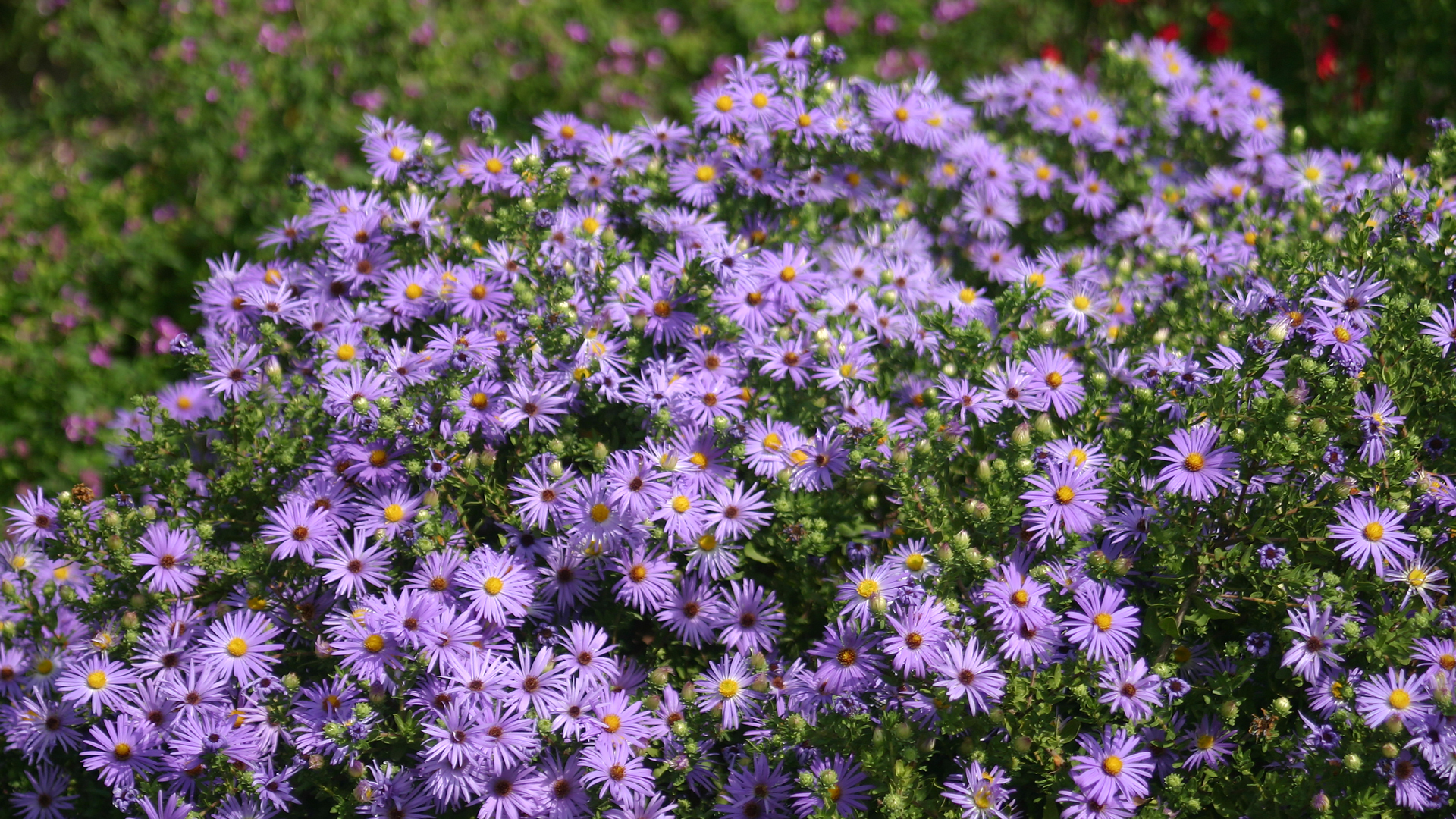 Fall aster flowers.
