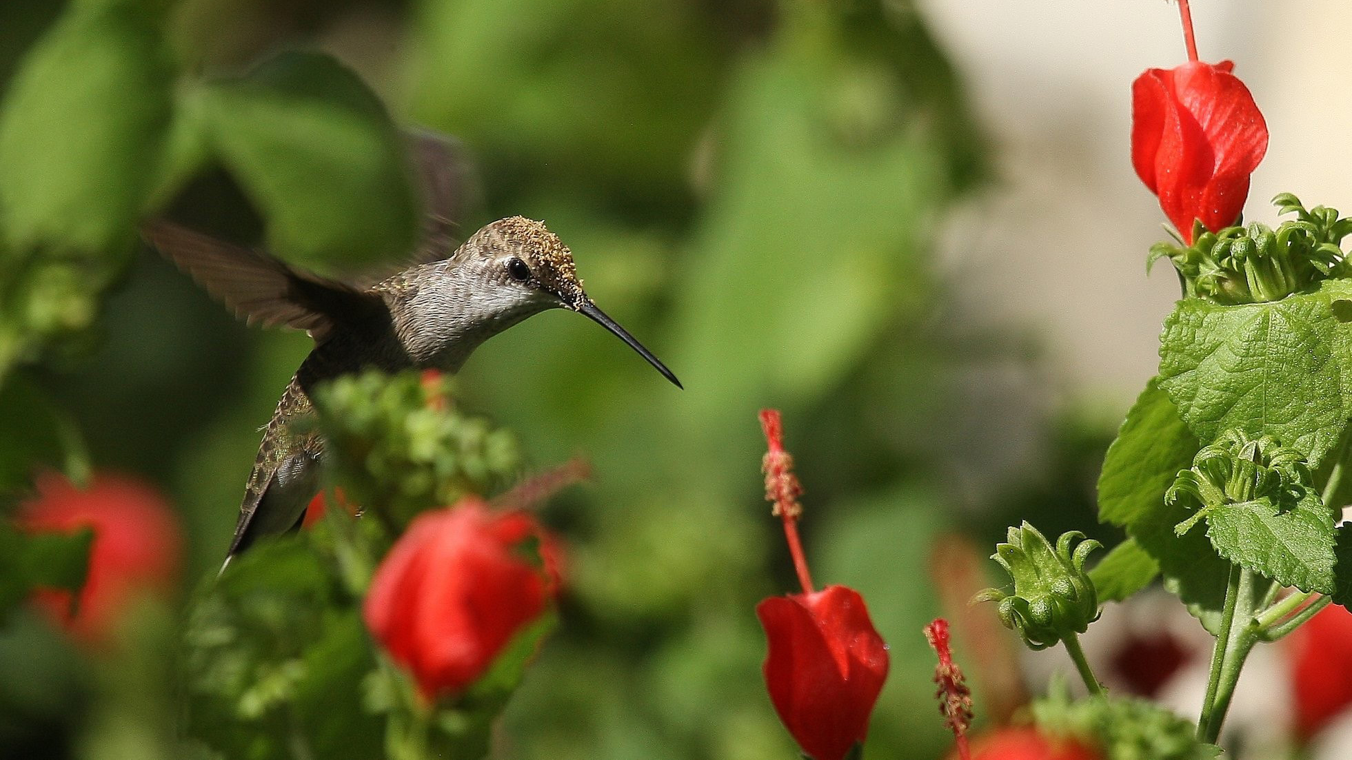 black chinned hummingbird flying over turks cap flowers