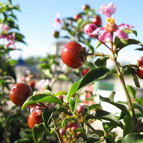 Barbados Cherry berries