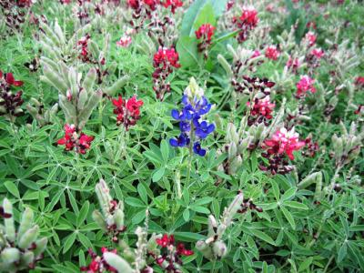 Red and Blue Bluebonnets