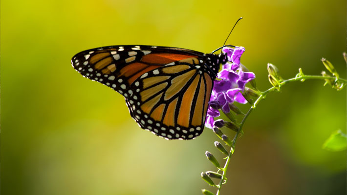 Monarch butterfly on Duranta