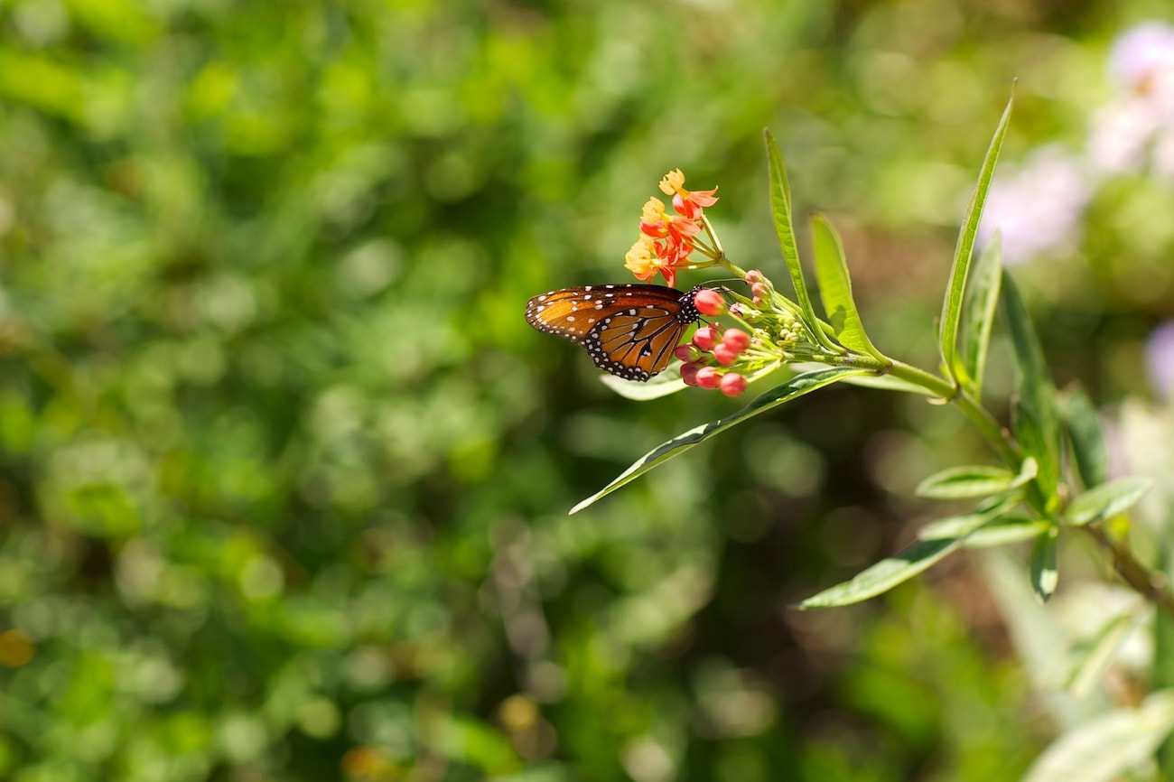 Monarch butterfly on a lantana flower | SAWS Garden Style Conservation Water Saver San Antonio Texas