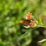 Queen butterfly nectaring on tropical milkweed.