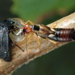 carrion beetle and earwig fighting each other