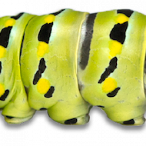 caterpillar worm bright green with black and yellow markings
