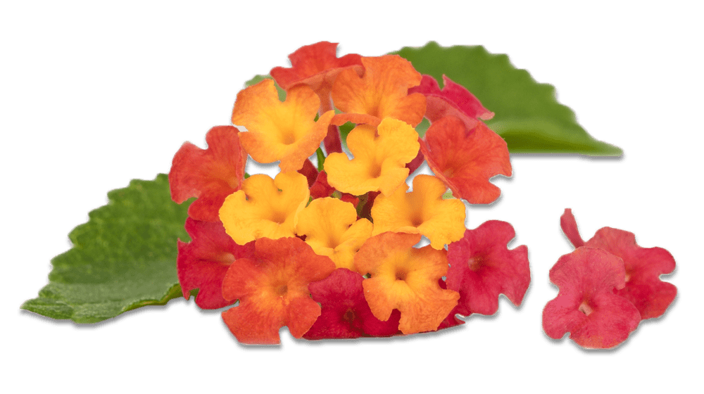 big orange and red lantana png