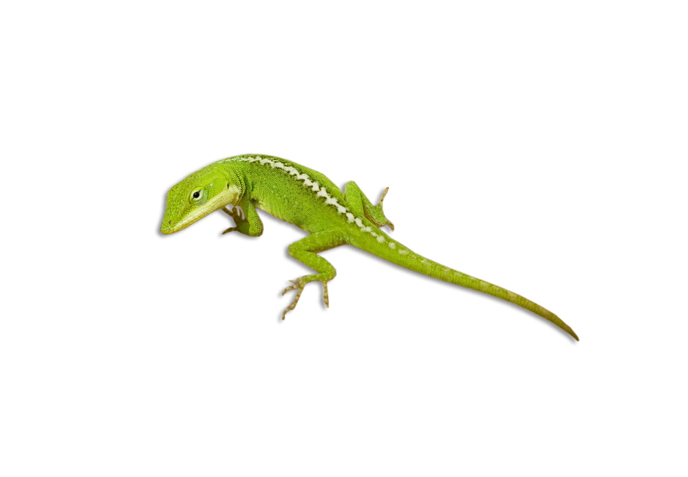 little green lizard png