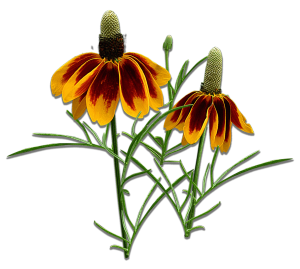 mexican hats flower isolated   SAWS Garden Style Conservation Water Saver San Antonio Texas