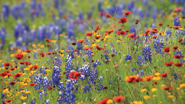 texas wildflowers including blue bonnets, indian blankets, yellow flowers
