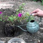 watering new plants with watering can
