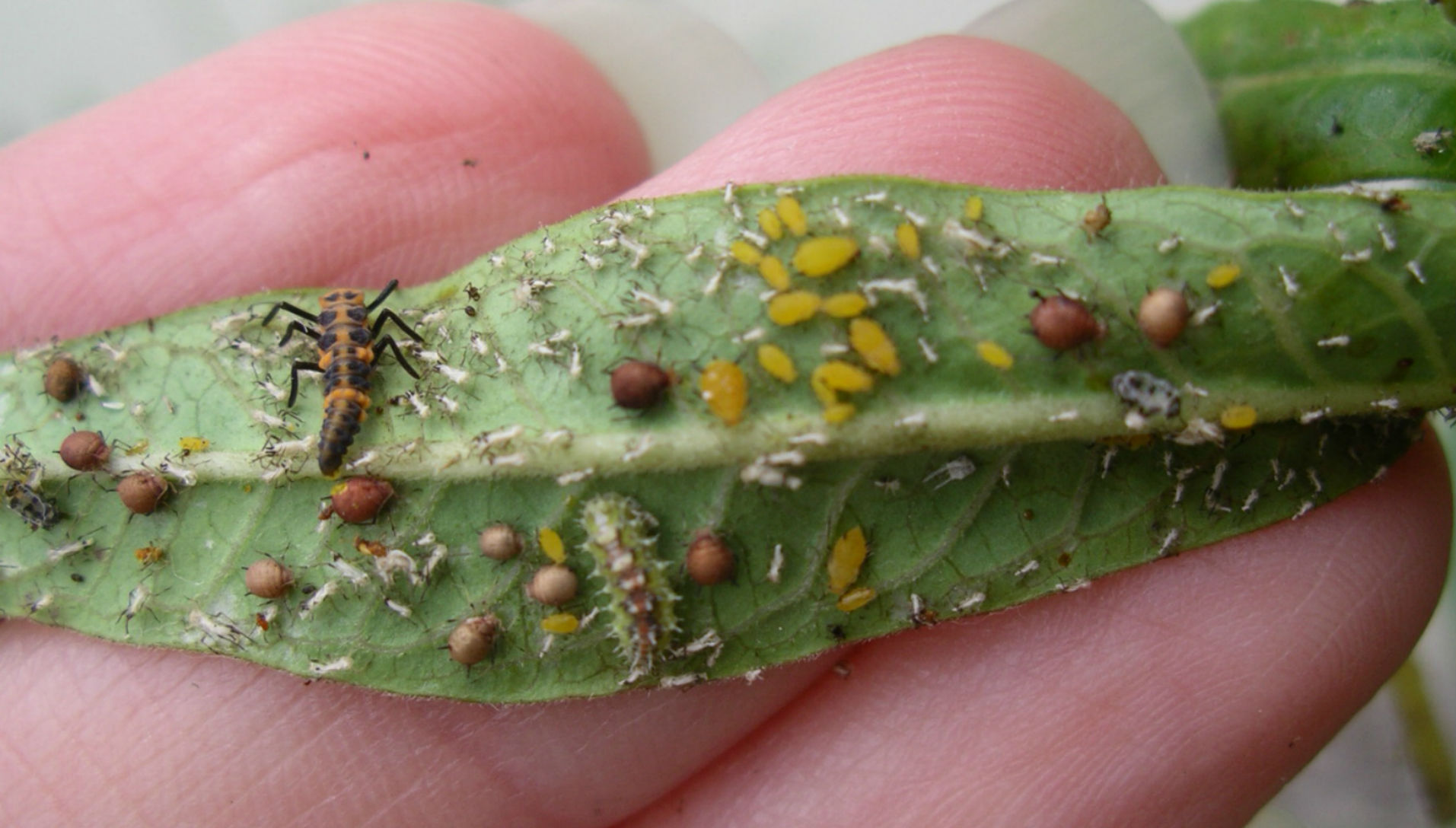 Ladybug and hoverfly larvae, with aphids, on milkweed